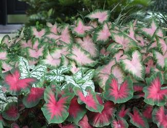 It's Easy to Grow Colorful Caladiums