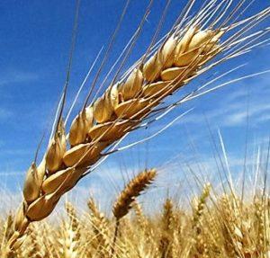 barley-field-1246867-639x851 (450 x 600)