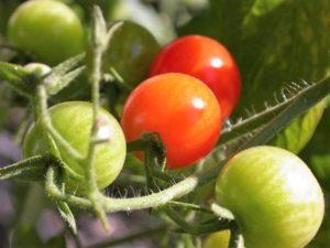 tomatoes-1-1532480-640x480